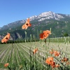 Field poppy at the edge of an asparagus field between Riva di Sotto and Terlano. Foto: AT, © Peer