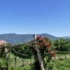 Die Umgebung von Girlan ist von Weinreben geprägt. Foto: AT, © Peer