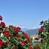 Rosen in den Weinbergen um Girlan. Im Hintergrund die schneebedeckten Spitzen der Texelgruppe bei Meran. Foto: AT, © Peer