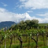 The surroundings of Cornaiano, a traditional vine-growing area. Foto: AT, © Peer