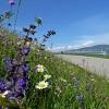 Prati fioriti sulla strada che porta a Gaido. Foto: AT, © Peer