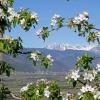 Ad Aprile a Frangarto sbocciano gli alberi da frutto. Vista verso Merano con le cime del Gruppo Tessa. Foto: EMS, © Peer