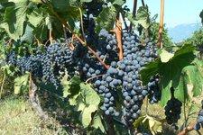 Wein- & Rebsorten 2011