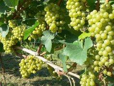 Weinbau 2011