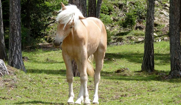 haflinger pferde AT