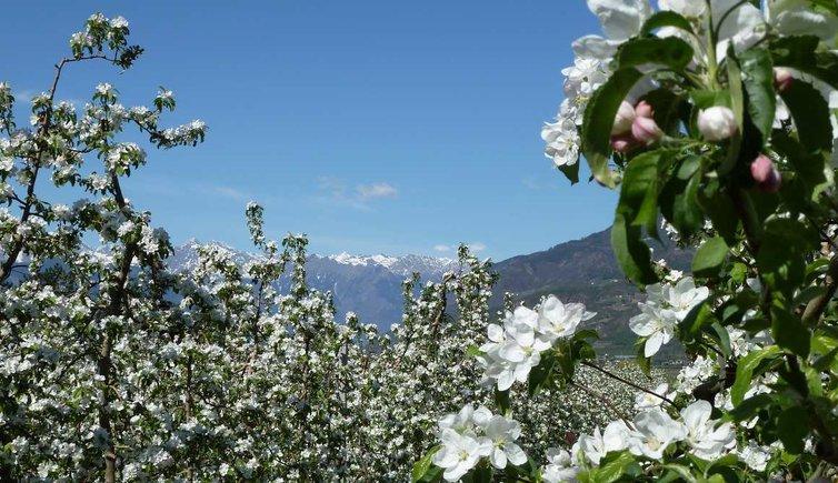 Apfelblüte, Foto: AT, © Peer