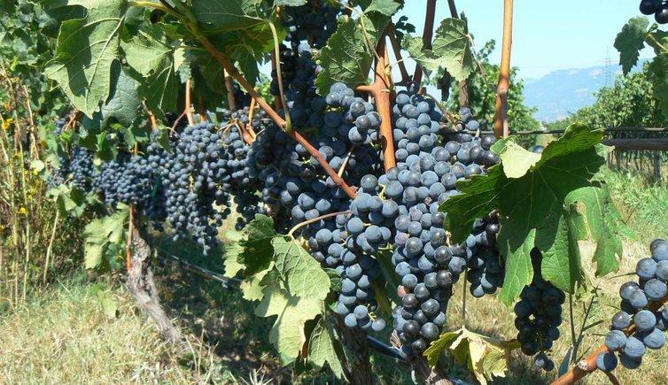 Tipo di vite, vigne e vino, Foto: ED, © Peer