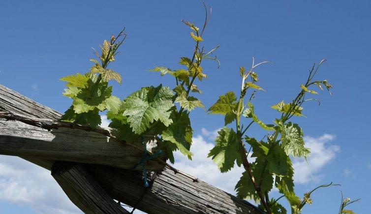 Weinkultur, Foto: EMS, © Peer