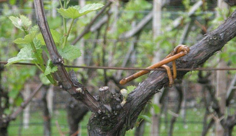 La produzione del vino, Foto: RD, © Peer