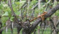 Von der Traube zum Wein 2011